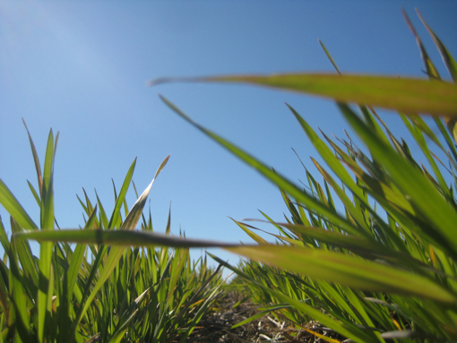 Wheat Spring 2013