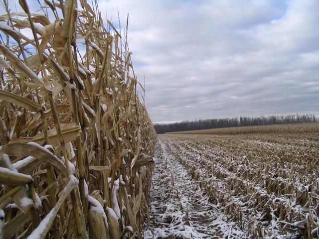Corn snow