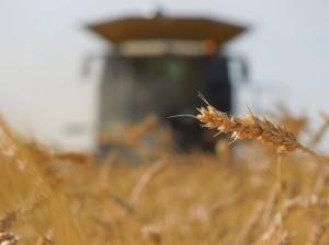 Lexion wheat Jpeg